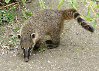 Botanical Garden and Zoo of Asunción - The coati, the most abundant animal in the zoo.