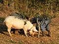 Cochon truffier.JPG