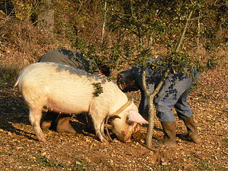 Pig - A pig trained to find truffles.