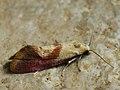 Cochylis flaviciliana - Gold-fringed conch (41322519281).jpg