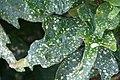 Codiaeum variegatum 7zz.jpg