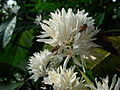 Coffee flower smallbee.JPG