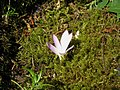 Colchicum montanum & Scilla autumnalis bud.jpg