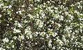 Coleonema album flores.jpg