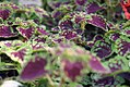 Coleus Brown Sugar Drop 0zz.jpg