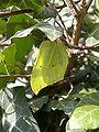 Colias hyale4.jpg