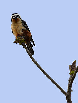 Collared Falconet (Microhierax caerulescens).jpg