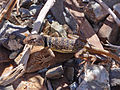 Collared lizard (Crotaphytus collaris) (14231970814).jpg