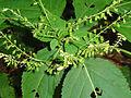 Collinsonia canadensis SCA-04228.jpg