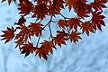 Colored Maple leaves - Flickr - odako1 (1).jpg