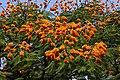 Colvillea racemosa 50D 5953.jpg