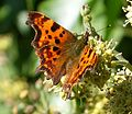 Comma. Polygonia c-album - Flickr - gailhampshire.jpg