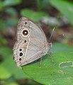 Common Bushbrown Mycalesis perseus UN by Dr. Raju Kasambe DSCN5138 (1).jpg