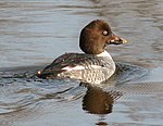 Common Goldeneye, female.jpg