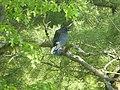 Common Raven (fledgling), May 24, 2012, Howard Christensen Nature Center (7262069416).jpg