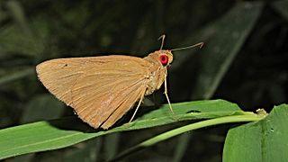 <i>Matapa aria</i> species of insect
