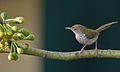 Common Tailorbird (Orthotomus sutorius) gleaning insects from Kapok (Ceiba pentandra) flower buds in Kolkata W IMG 3810.jpg