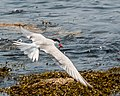 Common Tern With Fish (19485257250).jpg