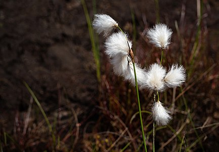Common cottongrass in a cliff crevice