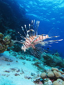 Common lionfish at Shaab El Erg reef.JPG