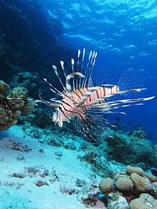 Pterois miles in the Red Sea