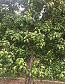 Common pear tree in early June.JPG