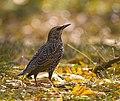 Common starling (45328321762).jpg