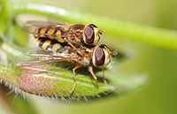 ComputerHotline - Syrphidae sp. (by) (7).jpg