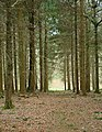 Conifers in Tylers Copse - geograph.org.uk - 755877.jpg