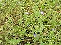 Convolvulaceae tricolor0.jpg