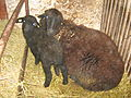 Copper-Red Shumen Sheep Kabiuk7.jpg