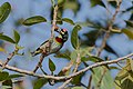 Coppersmith barbet1.jpg