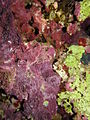 Coralline algae - note the green dead ones, possibly due to disease (6165870209).jpg
