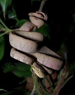 Corallus hortulanus in Ecuador.jpg