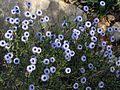 Coronilla de fraile - Flickr - treegrow.jpg