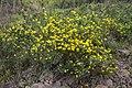 Coronilla glauca - Roquebrun 01.jpg