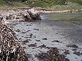 Corse-04623-Macinaggio-plage posidonie.jpg
