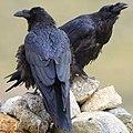 Corvus corax tibetanus 2.jpg