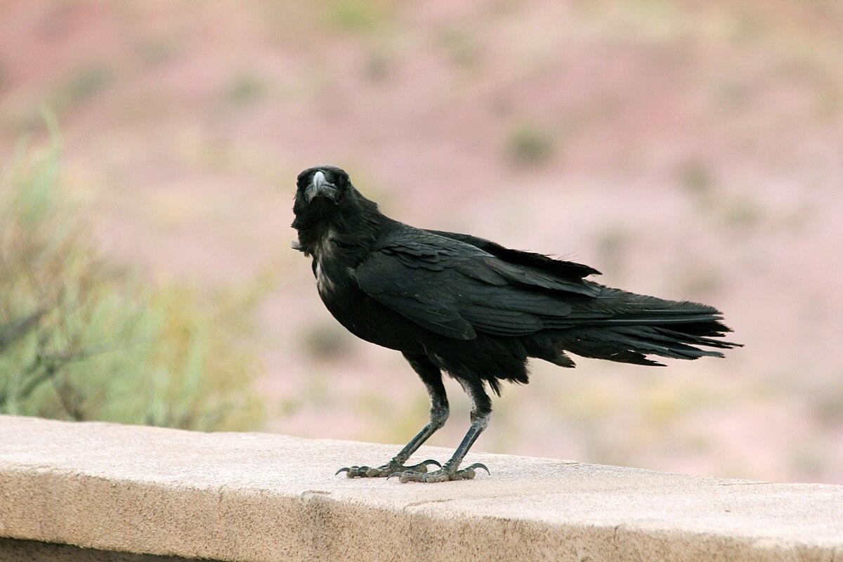 Corvus Cryptoleucus Wikipedia