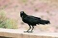 Corvus cryptoleucus Arizona 1.jpg
