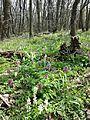 Corydalis cava sl2.jpg