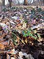 Corydalis solida sl4.jpg