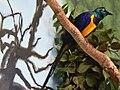 Cosmopsarus regius -Toledo Zoo -USA-8a.jpg