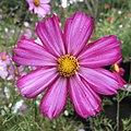 Cosmos bipinnatus IMG 7405--.jpg