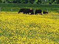 Cows in the pasture (5822941014) (2).jpg