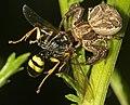 Crab spider seizes field digger wasp.jpg