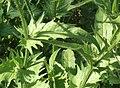 Crepis setosa leaf (10).jpg