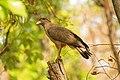 Crested serpant eagle -David Raju.jpg