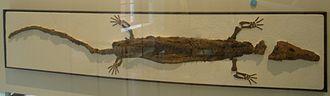 Embolomeri - Image: Cricotus crassidens