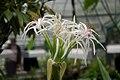 Crinum asiaticum 001.jpg